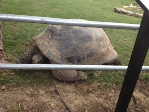 The giant tortoises at the zoo are my favorite.